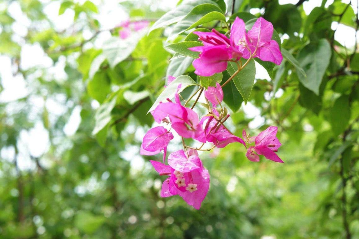 スミロン島の花